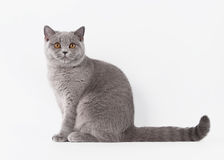 Gato femenino británico azul en el fondo blanco Fotografía de archivo