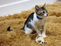 Gato femenino hermoso de los ojos azules, gato hipoalérgico Animal que puede ser animal doméstico por la gente que es alérgica a  fotos de archivo libres de regalías