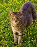 Gato feroz Foto de Stock