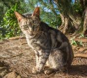 Gato feroz derrubado orelha Imagens de Stock