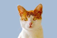 Gato fotografado da parte dianteira Foto de Stock Royalty Free