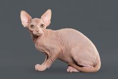 Gato Gatito canadiense del sphynx en fondo gris Fotografía de archivo libre de regalías