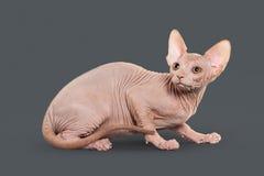 Gato Gatito canadiense del sphynx en fondo gris Imágenes de archivo libres de regalías