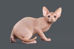 Gato Gatito canadiense del sphynx en fondo gris Imagenes de archivo