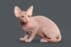 Gato Gatito canadiense del sphynx en fondo gris Foto de archivo