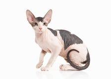 Gato Gatito del sphynx de Don en el fondo blanco Imagenes de archivo