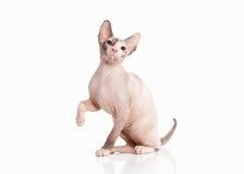 Gato Gatito del sphynx de Don en el fondo blanco Imagen de archivo libre de regalías