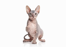 Gato Gatito del sphynx de Don en el fondo blanco Foto de archivo
