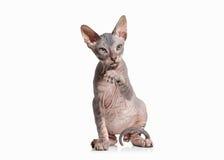 Gato Gatito del sphynx de Don en el fondo blanco Foto de archivo libre de regalías