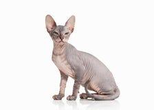 Gato Gatito del sphynx de Don en el fondo blanco Fotografía de archivo