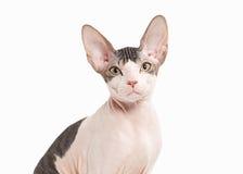 Gato Gatito del sphynx de Don en el fondo blanco Fotos de archivo