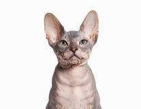 Gato Gatito del sphynx de Don en el fondo blanco Imágenes de archivo libres de regalías