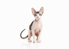 Gato Gatito del sphynx de Don en el fondo blanco Imagen de archivo