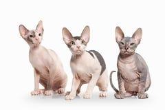 Gato Gatitos del sphynx de Don en el fondo blanco Foto de archivo