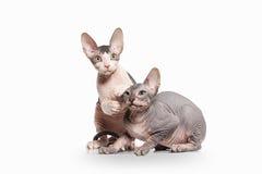 Gato Gatitos del sphynx de Don en el fondo blanco Imágenes de archivo libres de regalías