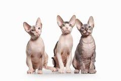 Gato Gatitos del sphynx de Don en el fondo blanco Fotografía de archivo