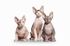 Gato Gatitos del sphynx de Don en el fondo blanco Fotos de archivo