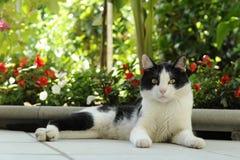 Gato - gato blanco y negro que miente en una observación cuidadosa de los alrededores Imágenes de archivo libres de regalías