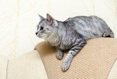 Gato, gato de reclinación en un cierre del sofá para arriba, gatito juguetón joven en una cama, animal relajante, animal doméstic Fotos de archivo libres de regalías