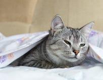 Gato, gato em uma cama, gato sonolento engraçado, gato que esconde em uma cama, jogando o gato, gato sob a tampa, fim engraçado b Imagens de Stock Royalty Free