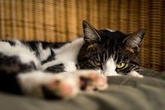 Gato glaring relxing en casa Imágenes de archivo libres de regalías