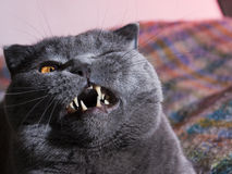 Gato gordo Imagem de Stock Royalty Free