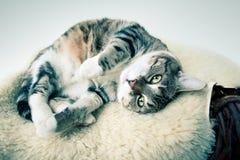 Gato gordo fotos de archivo