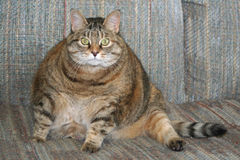 Gato gordo Imagenes de archivo