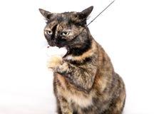 Gato gordo con el juguete Fotografía de archivo