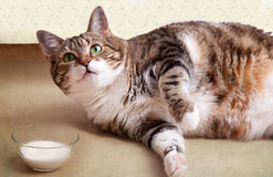 Gato gordo con leche Fotografía de archivo