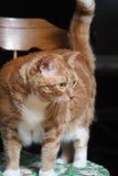 Gato gordo de la abuela Imagen de archivo