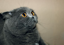 Gato gordo grande Imagens de Stock