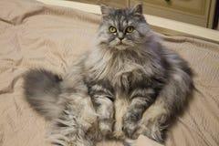 Gato gordo mullido hermoso con los ojos verdes que abogan por hambrientos foto de archivo