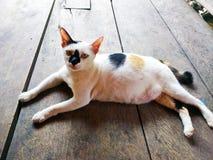 Gato grávido Imagem de Stock Royalty Free