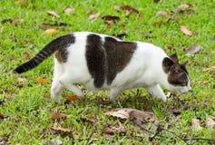 Gato grávido que anda em gramas foto de stock