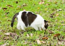 Gato grávido que anda em gramas ao procurar o alimento fotografia de stock royalty free