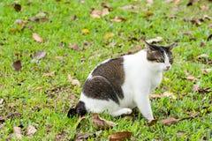 Gato grávido que senta-se para baixo em gramas ao olhar algo fotografia de stock royalty free