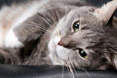 Gato grande Fotografía de archivo libre de regalías