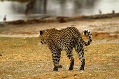 Gato grande bonito Imagem de Stock Royalty Free