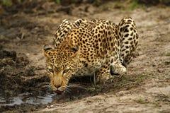 Gato grande bonito Imagens de Stock Royalty Free