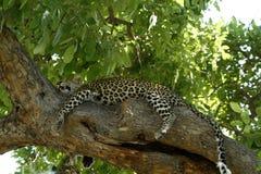 Gato grande camuflado Fotografia de Stock Royalty Free