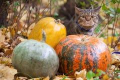Gato grande com os olhos alaranjados no parque do outono Foto de Stock Royalty Free