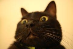 gato grande de la nariz Fotos de archivo libres de regalías