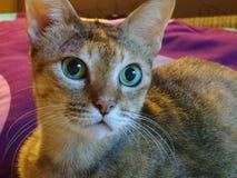 Gato grande do olho verde que olha um pássaro Imagens de Stock Royalty Free