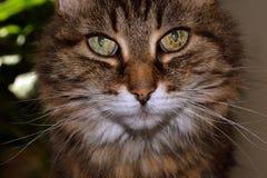Gato grande dos olhos que olha o Imagem de Stock Royalty Free