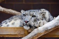 Gato grande no jardim zoológico Imagem de Stock