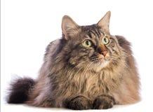 Gato grande norvegian, felino con el pelo largo foto de archivo libre de regalías