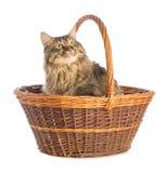 Gato grande norvegian, felino con el pelo largo, en cesta imagen de archivo