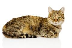 Gato grande que encontra-se no perfil No fundo branco Foto de Stock