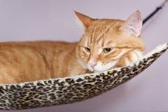Gato grande que miente en la hamaca Imagen de archivo libre de regalías